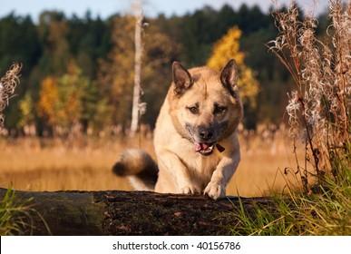 Jumping West Siberian laika (husky)
