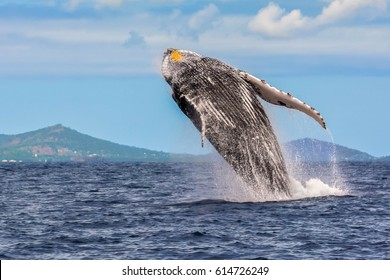 Jumping whale in the lagoon