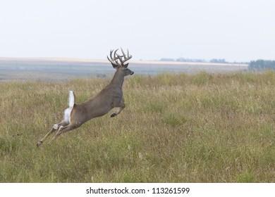 Jumping Whitetail Deer