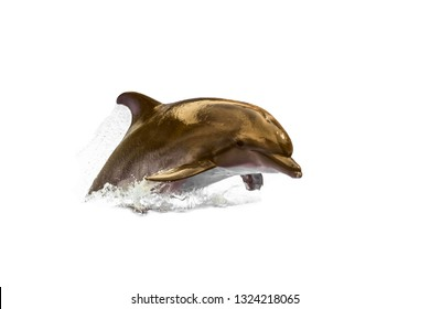 Jumping wild speedy bottlenose dolphin.  Swimming animal at white background (no isolated ).