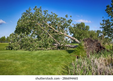 June 12, 2015  Redcliff, Alberta, Canada. A huge tree is uprooted at the Redcliff Golf Course after a violet storm that included wind, hail & rain, swept through the region at approximately 3:30 pm.
