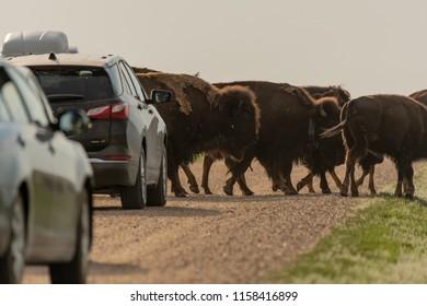 June 14, 2018: Badlands, United States: Bison Traffic Jam Along Dirt Road