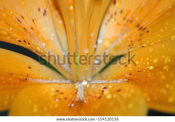 JUNE 2006 - BERLIN: morning dew on an orange lilly.