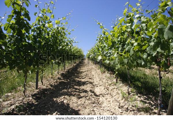JUNE 2008 - ZORNHEIM: vineyards in Rhineland Palatine, Germany.