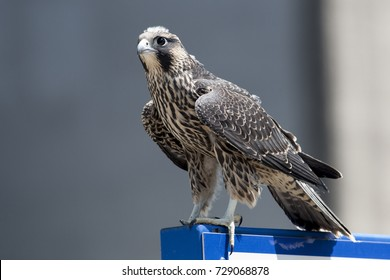 June 2017 Windsor, ON Canada - Juvenile Peregrine Falcon