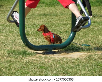 June 28, 2013, Trnava, Slovakia The dog, dachshund, sitting on the grass beside the exercise stand, on which the feet of a woman are seen during exercise.