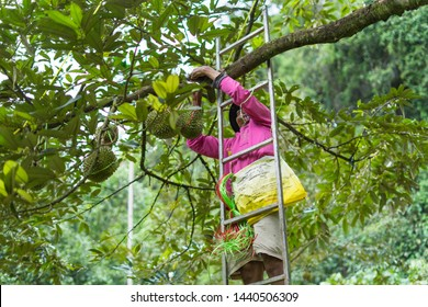 June 30th 2019, Amphoe Sawi, Chumphon province,Thailand. A Thai gardener is using a rope tied to durian with branches to prevent durian from being broken due to the wind and the weight.