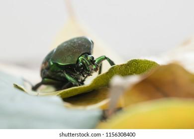 June Bug closeup on leaves