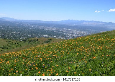 June wildflowers in the foothills of the Wasatch Mountains near Salt Lake City, Utah