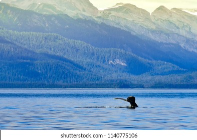 Juneau, Alaska - Circa September 2016: Orca Whale's tail above the water in the Bering sea with the mountain hills in the background by Darko Markovic