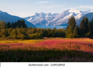 Juneau, Alaska. Mendenhall Glacier Viewpoint with Fireweed in bloom.