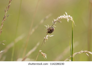 A Junebug hanging upside down on a blade of grass