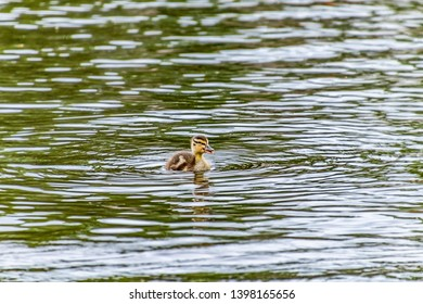 jung duck swimming in a lake
