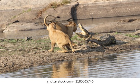 Jung male lions first encounter with crocodile Kruger national park