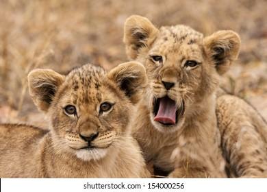 Junge L���¶wen (Panthera leo)