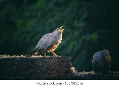 The jungle babbler is a member of the family Leiothrichidae found in the Indian subcontinent. They are gregarious birds that forage in small groups.