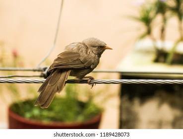 """Jungle Babbler"", a noisy bird from indian subcontinent."