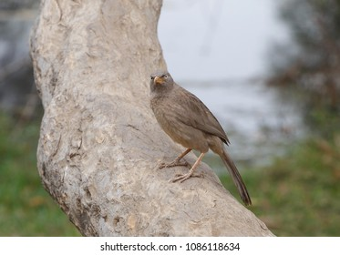 Jungle babbler on trunk of tree in Keoladeo National Park, India