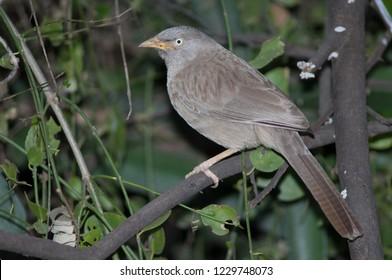 Jungle babbler (Turdoides striatus). Keoladeo Ghana. Bharatpur. Rajasthan. India.