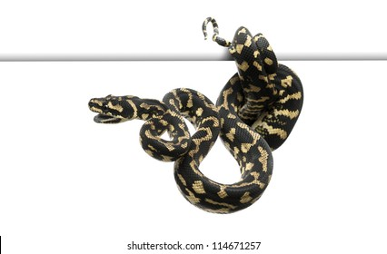 Jungle carpet python, Morelia spilota cheynei against white background