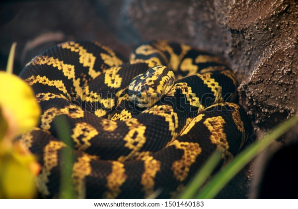 Jungle carpet python snake in good equipped terrarium. Morelia spilota non poisonous species of snake enjoys warmth of his glass terrarium. Exotic tropical cold blooded reptile animal. Pet concept.