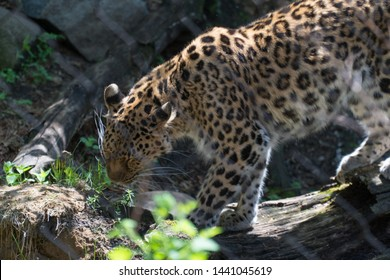 Jungle cat cheetah on display in park zoo for tourists and visitors to see. Wild animal hunts other meat sources and run very fast