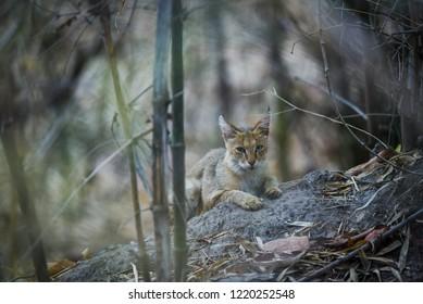 A jungle cat (Felis chaus) kitten, Kanha National Park
