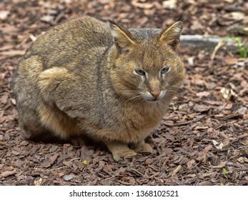 Jungle cat, Felis chaus, sitting and watching around