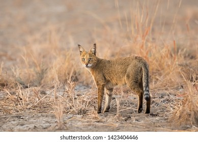 A Jungle Cat (Felis chaus) Standing in desert habitat, Gujarat, India
