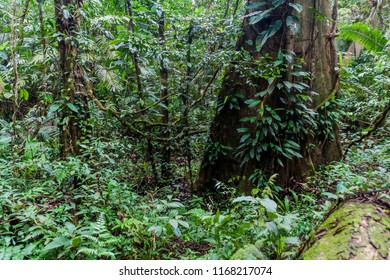 Jungle in Cockscomb Basin Wildlife Sanctuary, Belize.