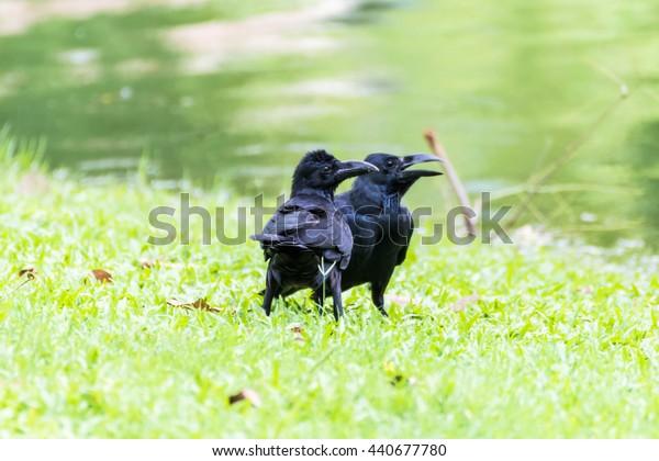Jungle crow/Large-billed crow/Thick-billed crow (Corvus macrorhynchos)