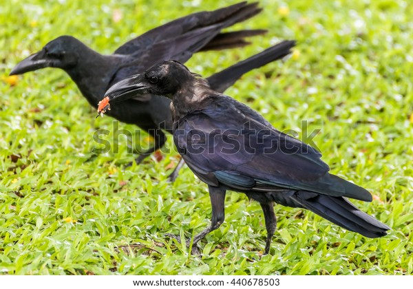 Jungle crow/Large-billed crow/Thick-billed crow (Corvus macrorhynchos)