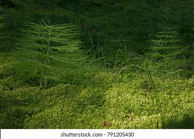 jungle of a distant corner of the wood at noon of hot summer - a horsetail on a moss