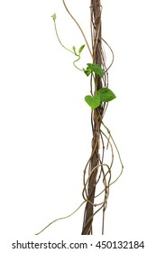 Jungle dried vines with heart shape green leaves vine climbing isolated on white background, clipping path included