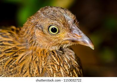 Jungle fowl female in Sinharaja rain forest - Sri Lanka - වලි කුකුලා (ගැහැණු) සිංහරාජ රක්ෂිත වනෝද්යානය