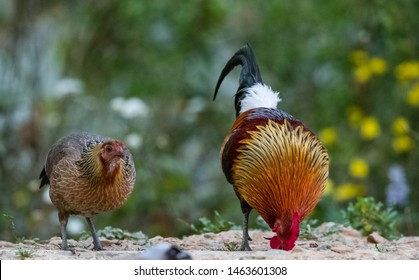 Jungle Fowl (Male and Female) rarely seen together in one frame in the Jungle of Sattal, Uttrakhand
