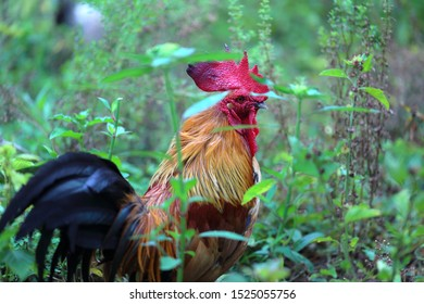 Jungle fowl of Thailand. Beautiful rooster with a red comb and nature flowers background.