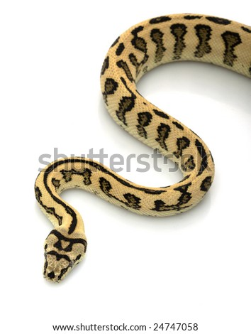Jungle Jaguar Carpet Python (Morelia spilota cheynei) ) isolated on white background.