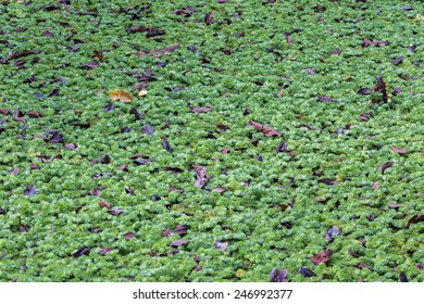 Jungle lake covered with weed