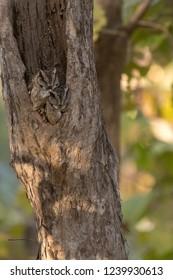 Jungle Owlet (Glaucidium radiatum) - Life in a Tree
