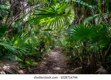 Jungle Paradise with fan palms Trail in Jungle in Mexico