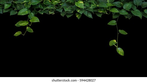 Jungle plant leaves background, heart-shaped green yellow leaves vine, devil's ivy, golden pothos hanging on black background.