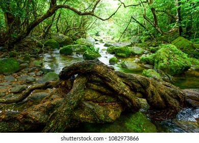 jungle and river in iriomote island
