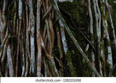Jungle roots and vines wind up a tree trunk in Mayflower Bocawina National Park, Belize