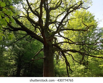 Jungle Sababurg; Reinhardswald, old trees