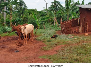 jungle scenery with some some cattle in Uganda (Africa)