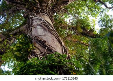 Jungle tree with big crown and lianas