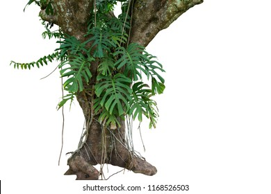 Jungle tree trunk with tropical foliage plants, climbing Monstera (Monstera deliciosa) and forest orchid green leaves growing in wild isolated on white background with clipping path.