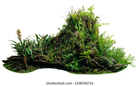 Jungle tree trunk with tropical foliage plants, climbing Monstera (Monstera deliciosa) isolated on white background with clipping path.