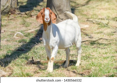A  junior aged Boer goat, doe, female stands in a  early summer spring growing pasture, The pasture is  naturalized  with  trees for shade.